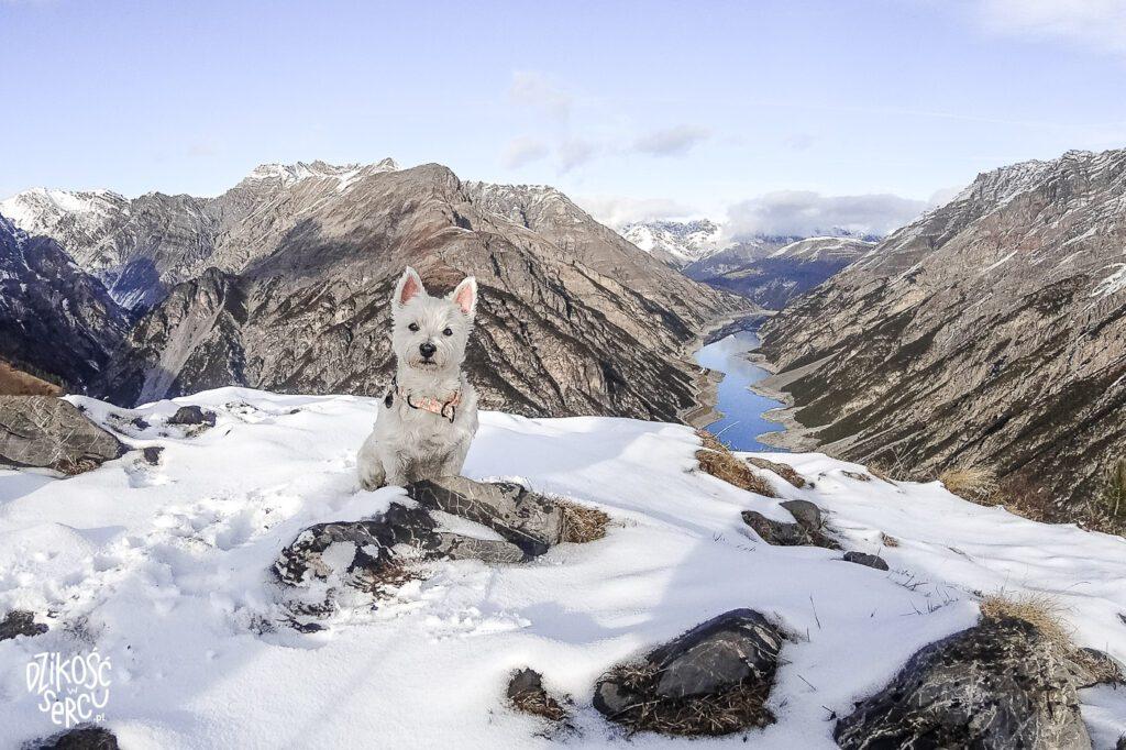 Crap de la Pare, Włochy z psem, Livigno, westie na ośnieżonym szczycie Alp