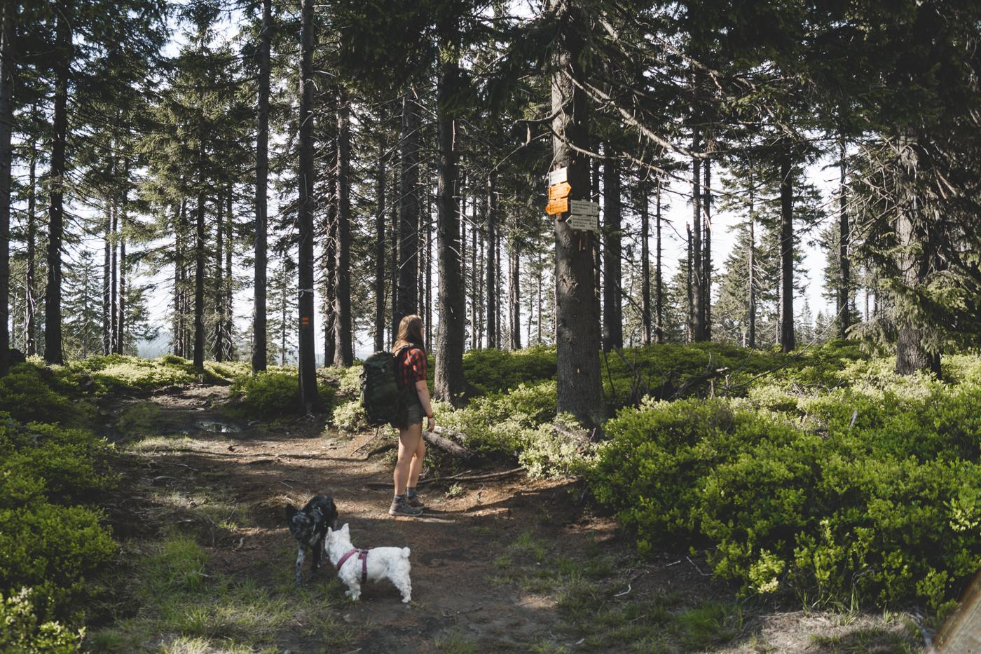 Las iglasty, rozstaj szlaków. Spoglądam na kierunkowskazy przybite do drzewa, obok mnie Fibi i Krakers.