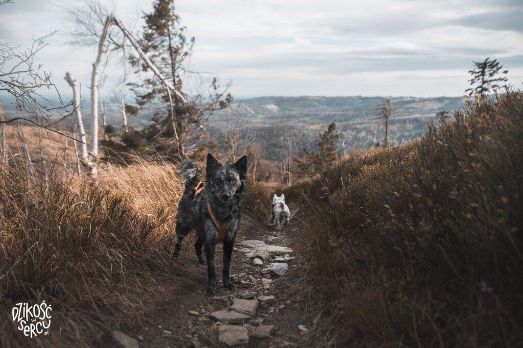 Góry Opawskie z psem, jesień w Górach Opawskich, Biskupia Kopa z psem