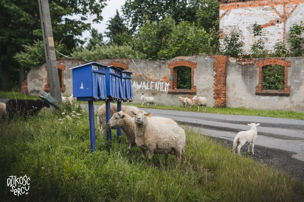 Stado owiec w dolnośląskiej wsi na tle ruin pałacu