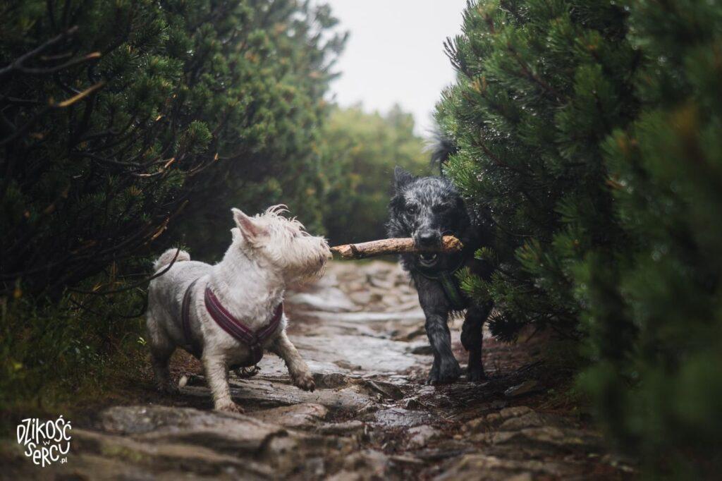 Psy bezsmyczy wKarkonoszach toogromny błąd! Zawsze zabieraj smycz.