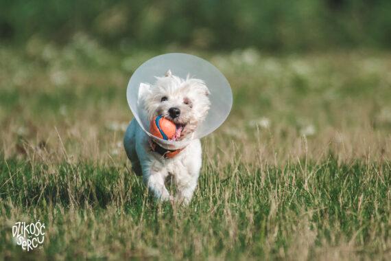 Wrzód rogówki u psa - leczenie, objawy